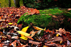 Colored autumn landscape in cloudy weather - oak leaf on the tree log Royalty Free Stock Image
