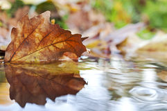Colored autumn leaf in the water. Beautiful colored autumn leaf in the water Royalty Free Stock Images