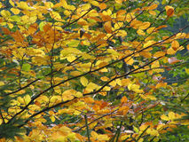 Colored autumn leaves. Autumn branches with colored leaves Royalty Free Stock Photography