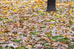 Colored autumn leaves background Royalty Free Stock Images