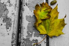 Colored autumn leaves. On a black and white bench stock image