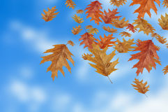 Colored autumn leaves falling down on blur background Royalty Free Stock Images
