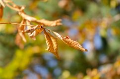 Colored autumn leaves hanging on the branch,. Blurred background stock photography