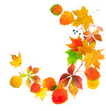 Colored autumn leaves isolated on a white background Royalty Free Stock Photos