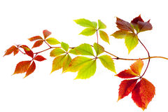 Colored autumn leaves isolated on a white background Stock Images