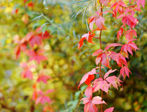 Colored autumn leaves. Red green colored autumn leaves stock photo