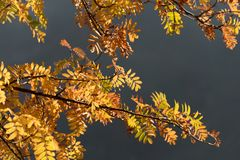 Colored autumn leaves, rowan-berry tree Royalty Free Stock Images