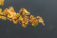 Colored autumn leaves, rowan-berry tree Royalty Free Stock Photography