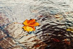 Autumn leaves in water royalty free stock photography