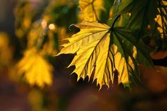 Colored autumn maple leaf at sunset. Golden maple leaves with the rear light of the setting sun perfect for welcoming fall season Royalty Free Stock Photo