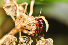 Colored beetle on mallow flower. Beetle climbing a mallow flower Stock Photos