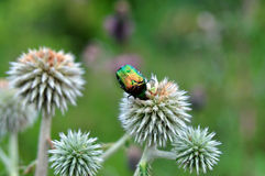 Сhrysolina fastuosa , сolored beetl Stock Photography