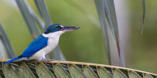 3 Colored bird. A beautiful Collared Kingfisher perch on a oil palm branch Stock Photo