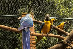 Colored, blue and yellow Macaws of Brazil royalty free stock images
