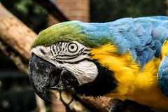 Colored, blue and yellow Macaws of Brazil royalty free stock photography