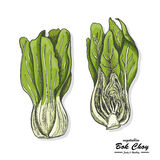 Colored Bok choy in sketch style. Vector illustration for your design Royalty Free Stock Photo