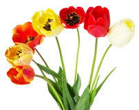 Colored bouquet of tulips isolated on the white background Stock Photography