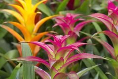 Colored bromeliads flowers Royalty Free Stock Photography