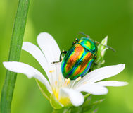 Colored bug sits on a flower Royalty Free Stock Photos