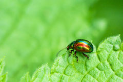 Colored bug sits on a green leaf Stock Photo