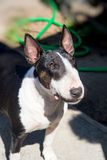 Colored Bull Terrier outdoor portrait Stock Photo