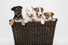 Colored bull terrier puppies in a basket Stock Image