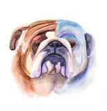 Colored bulldog's head Royalty Free Stock Images