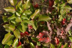 Colored bush leaves in the sun. Colored bright leaves of a small bush in the rays of the sun from royalty free stock photos