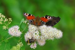 A colored butterfly and a big bumblebee are sitting on a white flower bud. On a green background in the summer garden royalty free stock photo