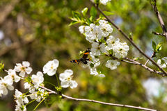 Colored butterfly on a flower of cherry tree Royalty Free Stock Photos
