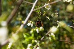 Colored butterfly on a flowering cherry tree. Spring Stock Photos