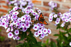The colored butterfly sitting on the white phlox Stock Photo