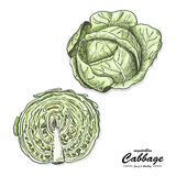 Colored cabbage in sketch style Royalty Free Stock Images