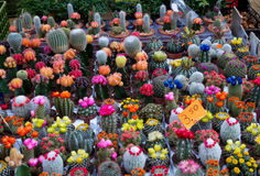 Colored cactus Royalty Free Stock Images