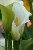 Colored calla lily in bloom Royalty Free Stock Photography