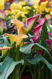 Colored calla lily in bloom Stock Photos