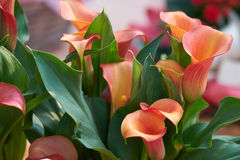 Colored calla lily Royalty Free Stock Photography