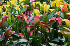 Colored calla lily Royalty Free Stock Photo