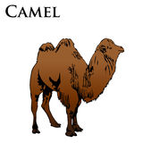 Colored camel illustration Stock Photography