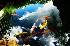 Colored carp swimming. royalty free stock images