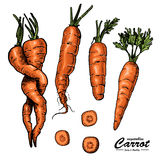 Colored carrot in sketch style Royalty Free Stock Images