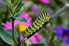 Colored caterpillar on grass. Colored caterpillar on the grass in the green leaves of autumn Royalty Free Stock Image