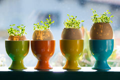 Colored ceramic eggcups with egg shells. With cress growing out Stock Photography
