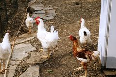 Chickens in the farm in the south of italy. Of colored chickens bang in the backyard of a southern Italian farm in search of food ti eat Stock Photography