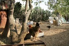 Chickens in the farm in the south of italy. Of colored chickens bang in the backyard of a southern Italian farm in search of food ti eat Royalty Free Stock Images