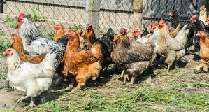 Colored chickens at the farm Royalty Free Stock Image