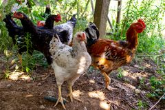 Colored Chickens Looking carefully. Chickens and roosters walking in the garden. Image stock photo