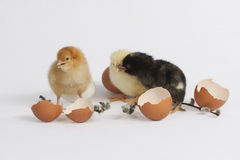 Colored chicks Stock Photography
