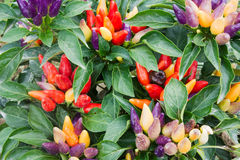 Colored chili pepper Royalty Free Stock Images