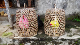 Colored cocks. Bred for fighting are kept in the baskets, such a royalty free stock photos